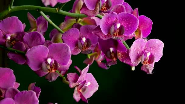 Detailní záběr krásné kvetoucí orchideje s kapkami vody na tmavém pozadí. Kvetoucí květina. Svatební pozadí.
