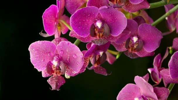 Nahaufnahme einer schönen blühenden Orchidee mit Wassertropfen auf dunklem Hintergrund. Blühende Blume. Hochzeitskulisse.