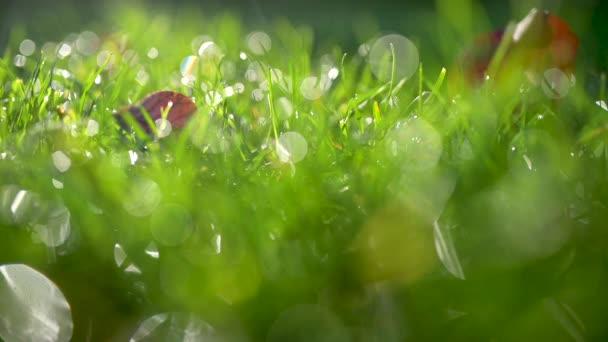 Detailní čerstvé trávy pokryté kapkami rosy. Letní pozadí