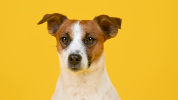 Portrait of a cute dog breed Jack Russell Terrier on a yellow background. Funny pets. Background for your text and design.