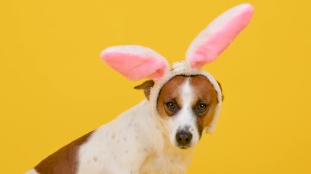 Vicces kutya visel húsvéti fül egy nyúl egy sárga stúdió háttér.