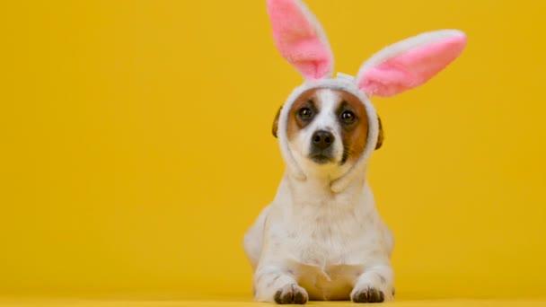 Lustiger Hund trägt Osterohren eines Hasen auf gelbem Studiohintergrund.