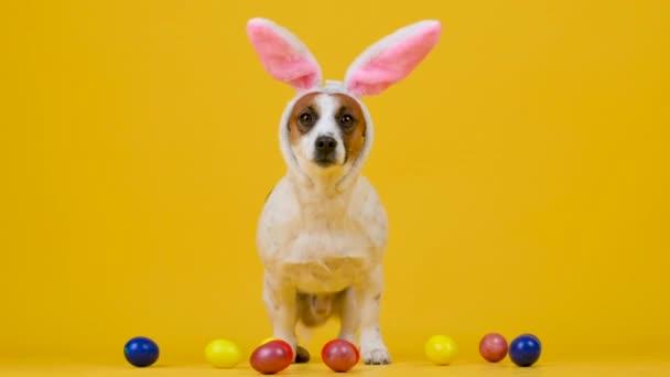 A vicces kutya visel húsvéti nyuszi fülek ül mellett színes húsvéti tojás egy sárga stúdió háttér.