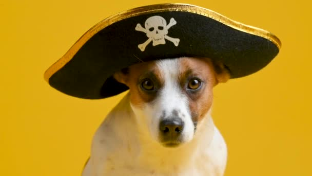 Portrait of a funny Jack Russell Terrier dog in a pirate hat on a yellow background. Pets. Background for your text and design.