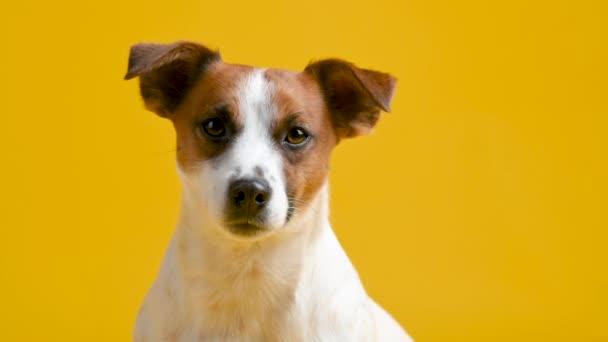 Portrét roztomilého psa plemene Jack Russell teriér na žlutém pozadí. Legrační mazlíčci. Pozadí pro text a design.
