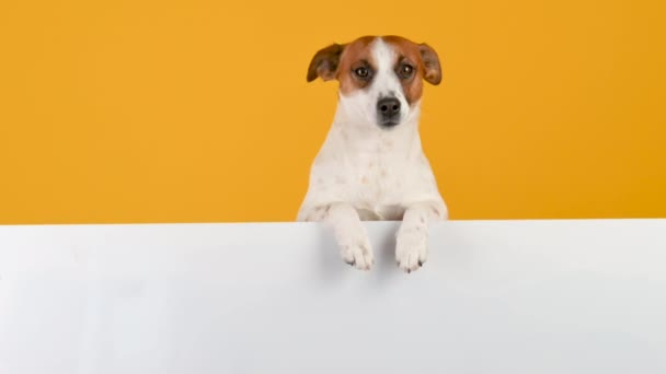 Dog breed Jack Russell Terrier with a large white banner for text on a yellow background. Copy space for advertisement.