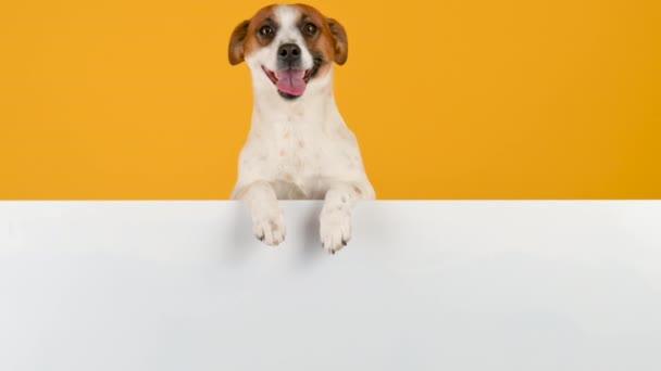 Kutyafajta Jack Russell Terrier egy nagy fehér banner szöveg sárga alapon. Reklámhely másolása.