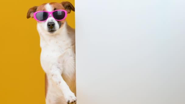 Jack Russell Terrier kutya napszemüvegben, nagy fehér transzparenssel, sárga háttérrel. Reklámhely másolása.