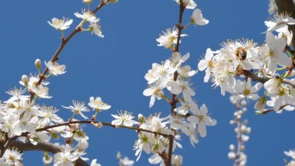 Honey bee collecting nectar pollen with flower on a flowering cherry tree on spring sunny day. Pollinating fruit trees. Springtime concept