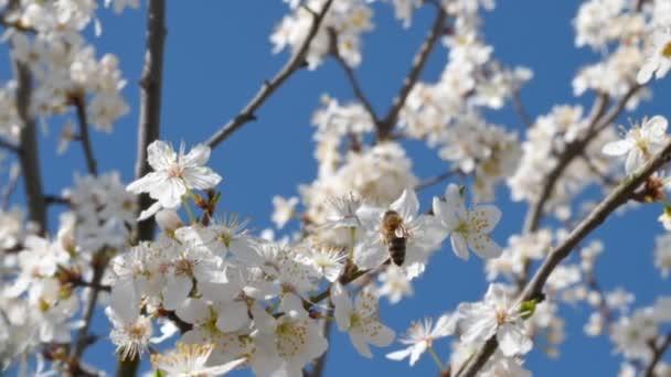 Méhecske nektár virágport gyűjt virággal egy virágzó cseresznyefán a tavaszi napsütéses napon. Gyümölcsfák beporzása. Tavaszi koncepció