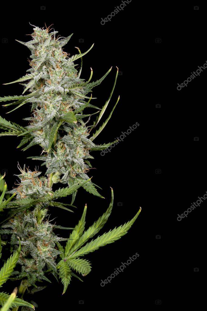 Mature cannabis plant