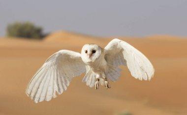 Barn owl in a desert near Dubai