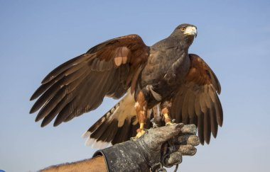 Harrier Hawk sitting on hand