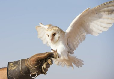 Barn Owl on leather glove