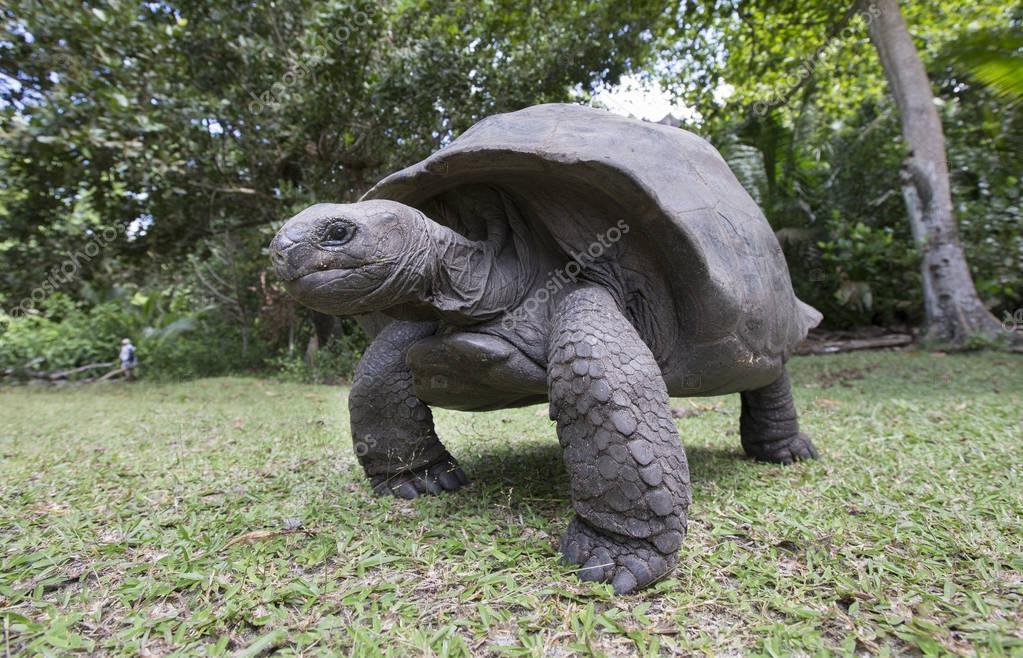 Aldabra Giant Tortoise in Seychelles