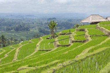 green rice fields in Ubud