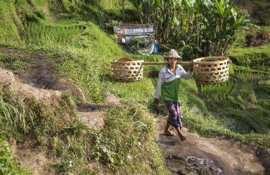 balinese rice field worker on rice field
