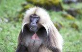 Fotografie Gelada baboon in Simien mountains
