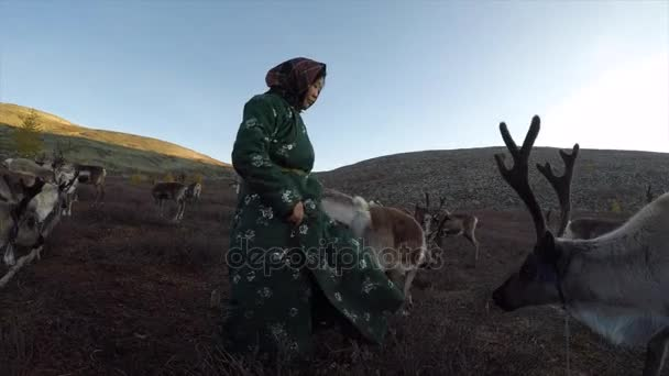 Mongolian woman pasturing herd of deer at green meadow