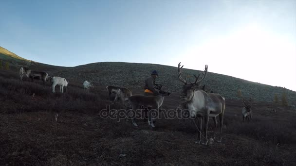 Mongolian man pasturing herd of deer at green meadow