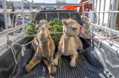 Camels being transported at trunk of car