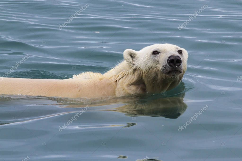 polar bear swimming in waters of Svalbard, looking for food