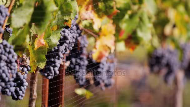 grape vines along fence