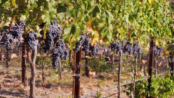 line of wine grapes