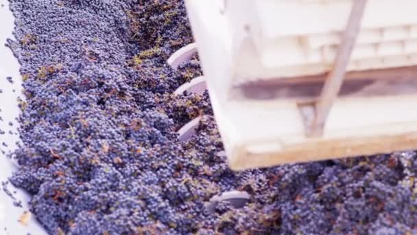 zpracování hroznů vinic v napa valley