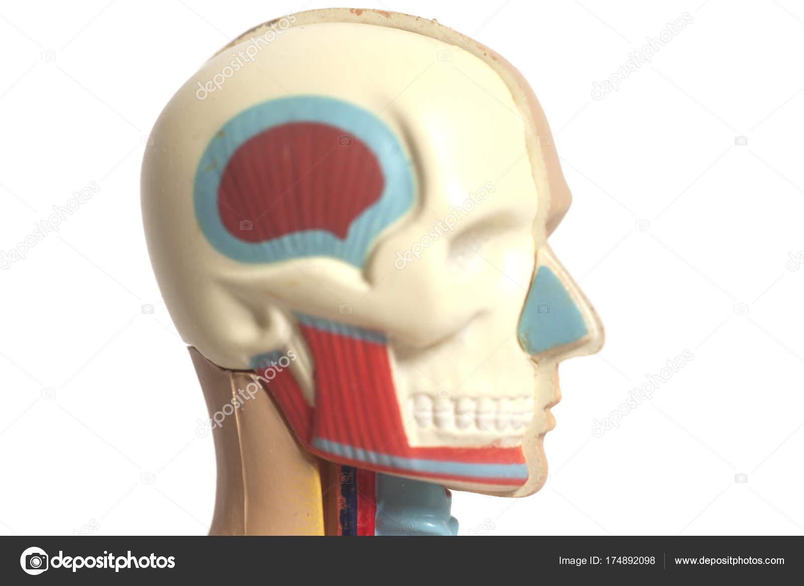 Menschlichen Kopf Anatomie Modell — Stockfoto © yurchello_108 #174892098