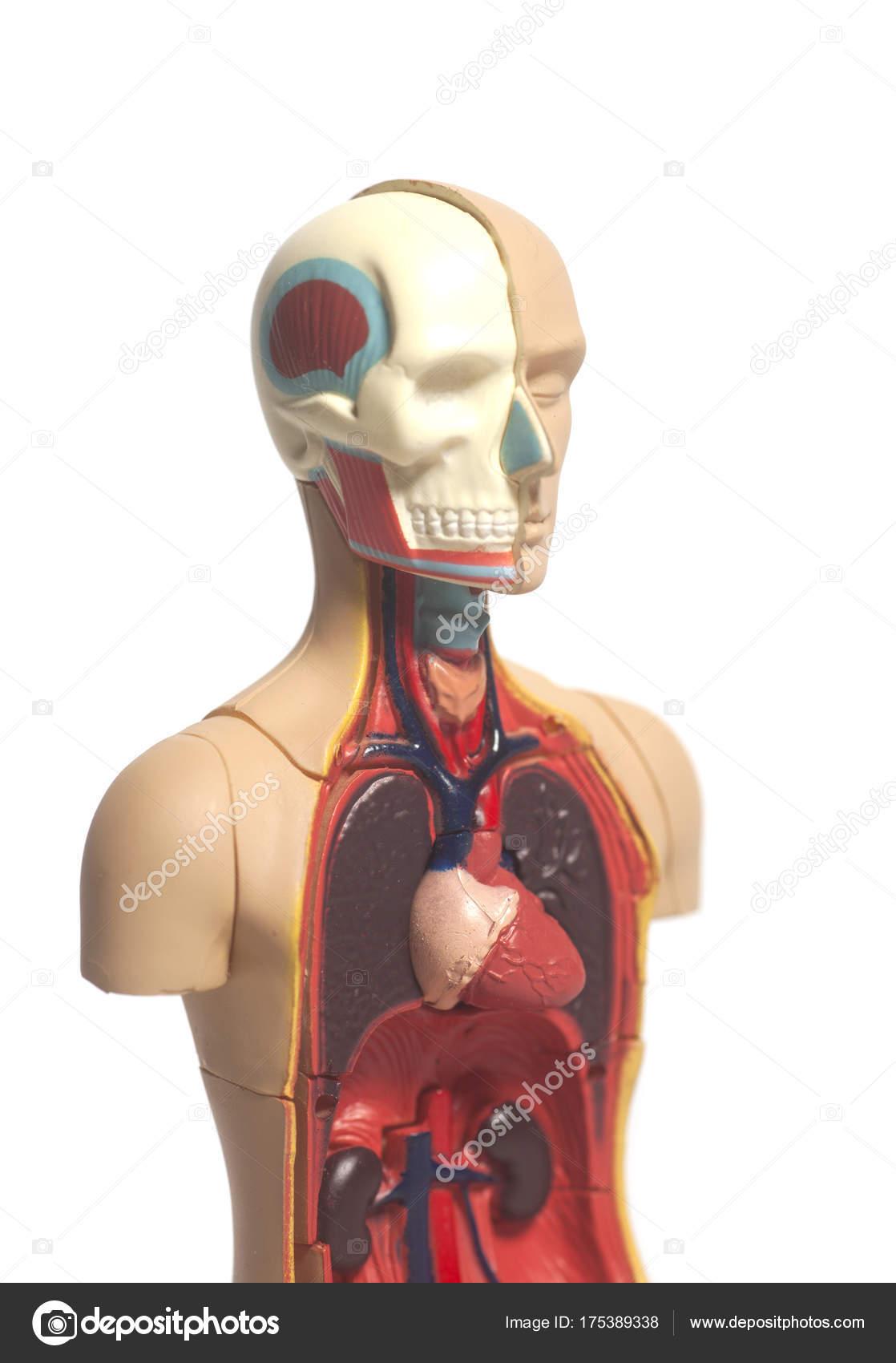 menschliche Körper-Anatomie-Modell — Stockfoto © yurchello_108 ...
