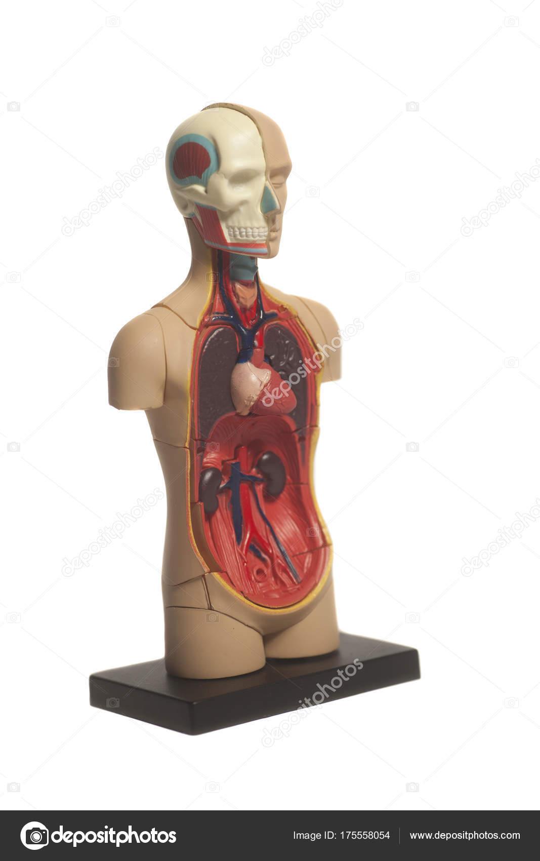 modelo de la anatomía del cuerpo humano — Foto de stock ...