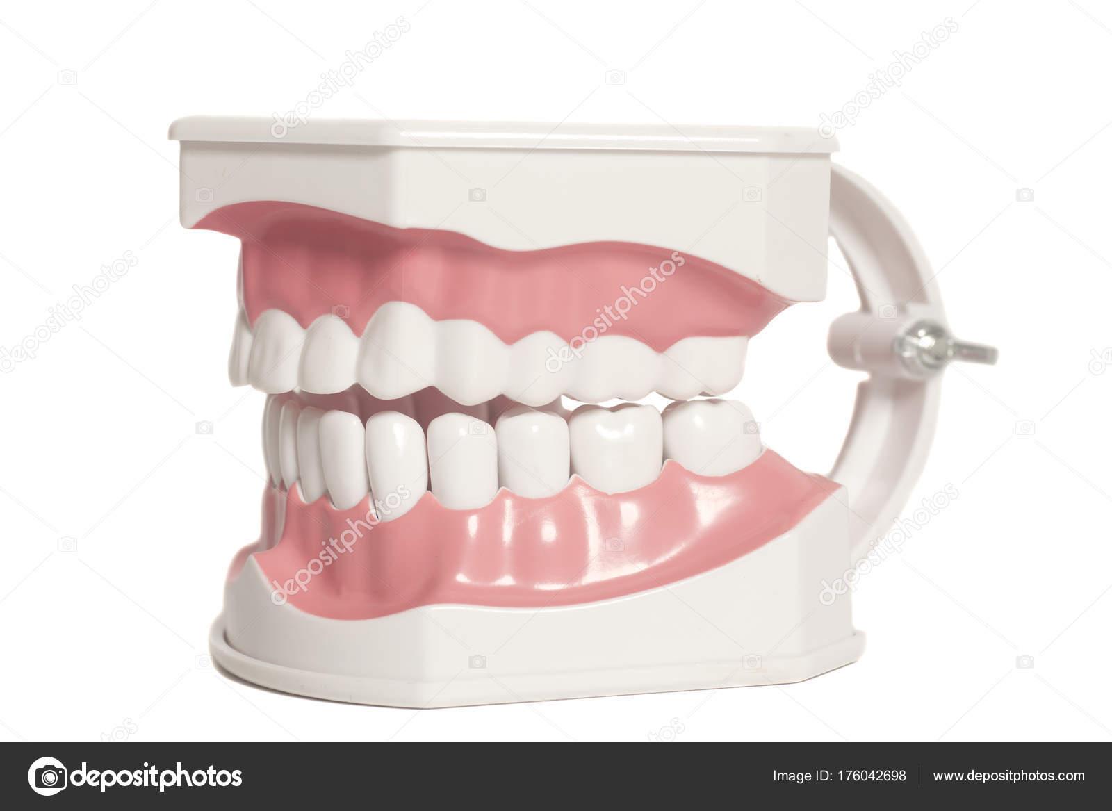 Modelo dental dientes humanos — Foto de stock © yurchello_108 #176042698