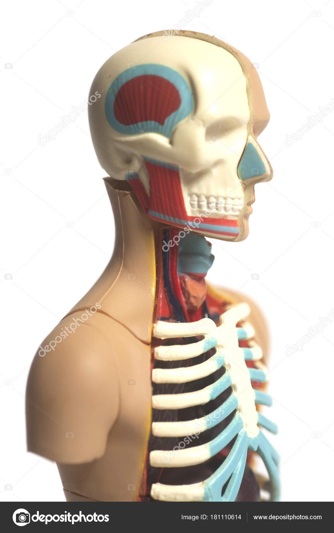 Human Body Anatomy Model Isolated White Background — Stock Photo ...