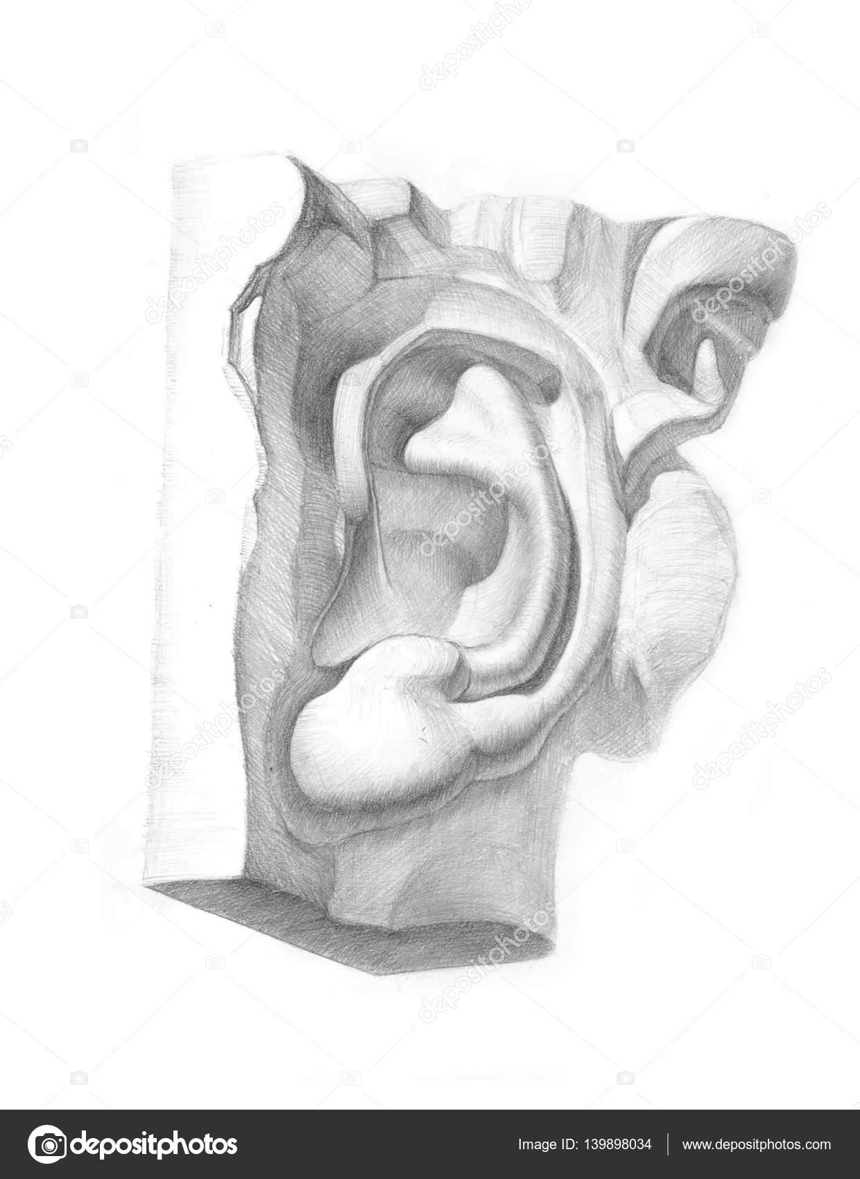 Academic pencil drawing of plaster ear stock photo skmp 139898034