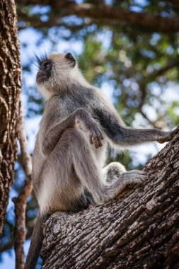 """Картина, постер, плакат, фотообои """"обезьяна в национальном парке яла постеры животные белые"""", артикул 154478148"""