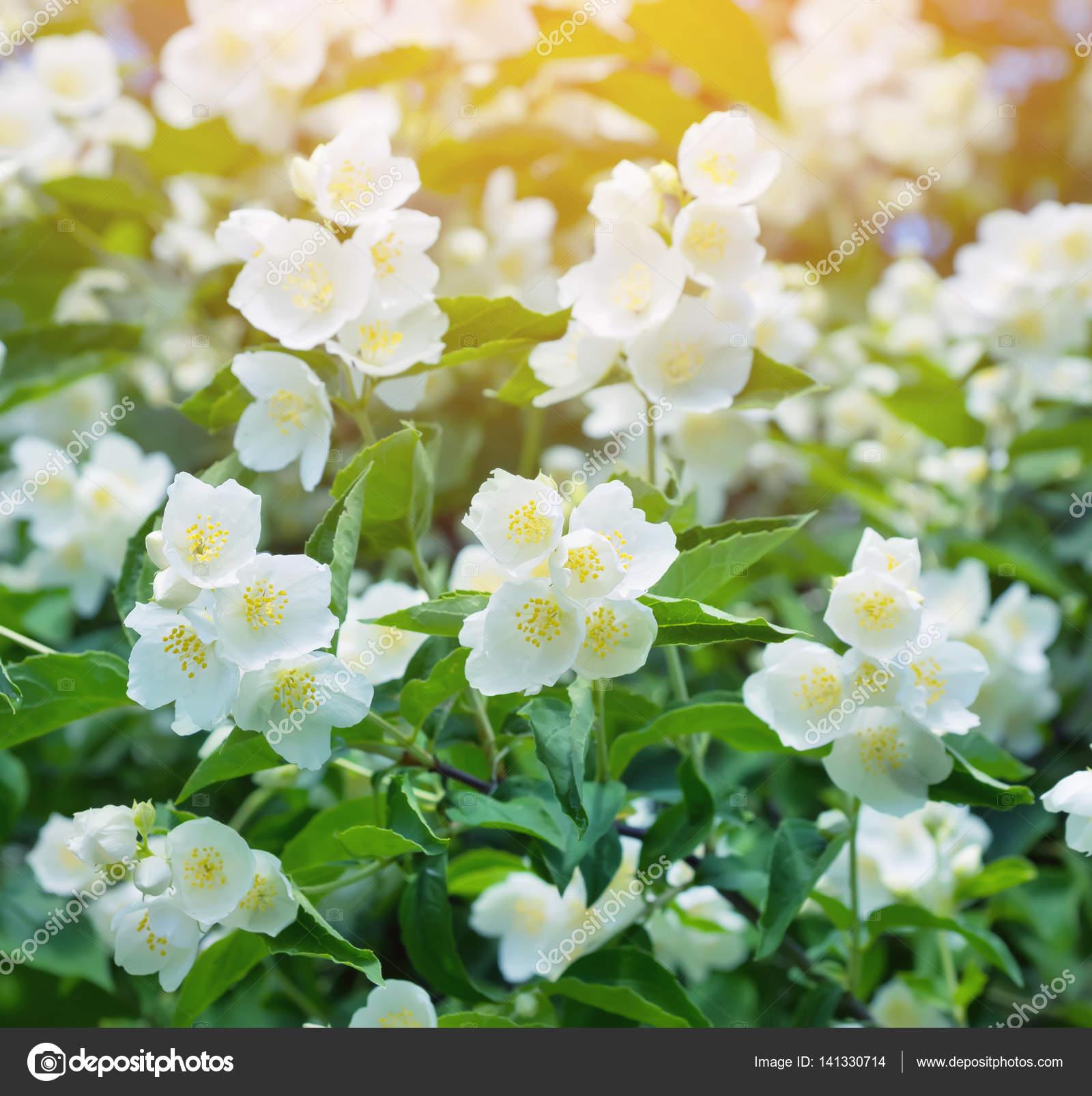 Bel Fleur Jasmin Photographie Leonidikan C 141330714