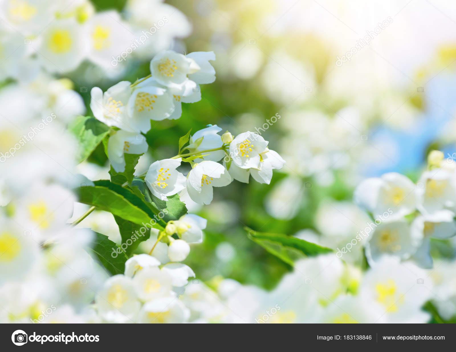 Summer Scene Lush Flowering Jasmine Branches Sun Stock Photo