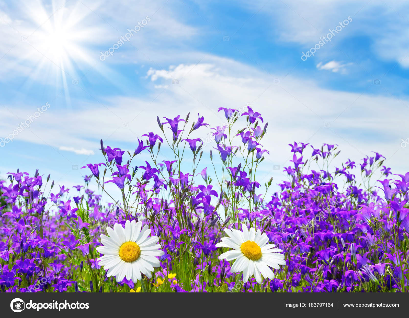 Summer Bright Scenery Field Beautiful Flowers Bells Chamomile Blue