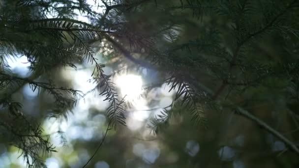 Ranní slunce vyjde skrze borovic při východu slunce