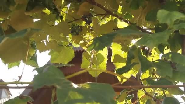 Wine Vineyard sunlight through grape leaves