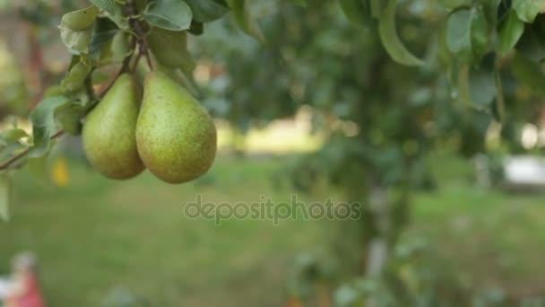 Velká hruška visí na stromě. Zralé plody. Ovocný strom
