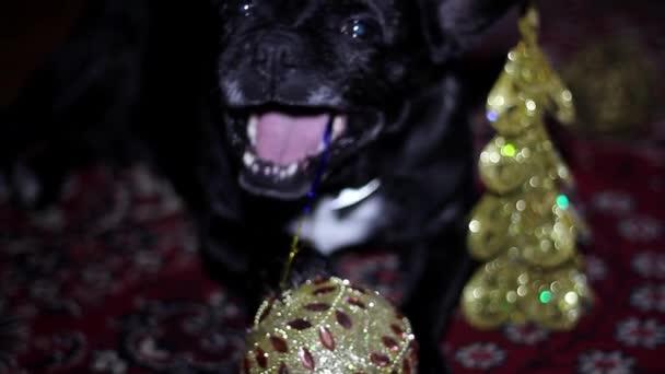 Kutya - Francia Bulldog játszik a játék szilveszteri újévi háttér
