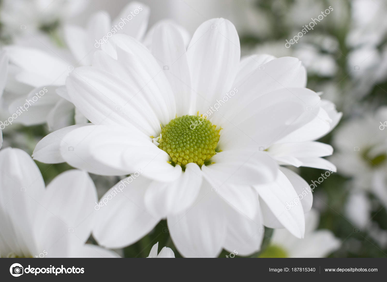 Closeup Of White Chrysanthemum Flower With Green Blurred Background