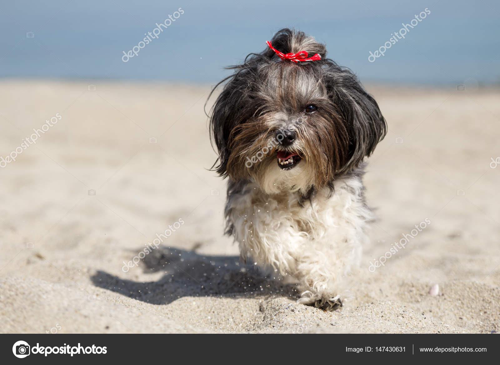 Cute Dog Running Happily On The Beach Stock Photo C Mahlebashieva