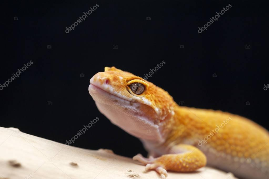 gecko lizard isolated on black background