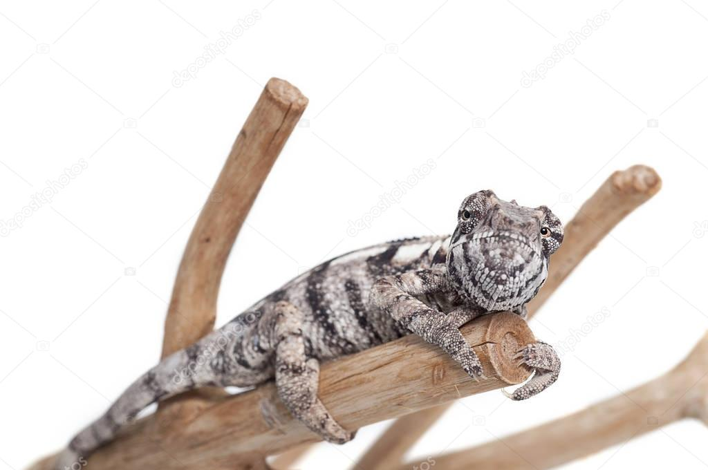 chameleon lizard isolated on white background