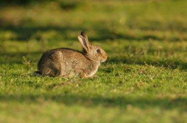 young juvenile rabbit