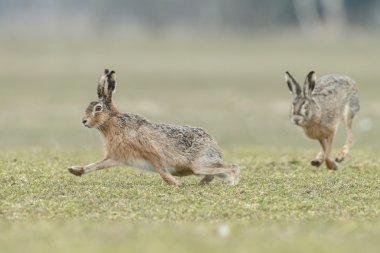 Wild hares running.