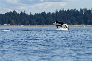 Jumping orca whale